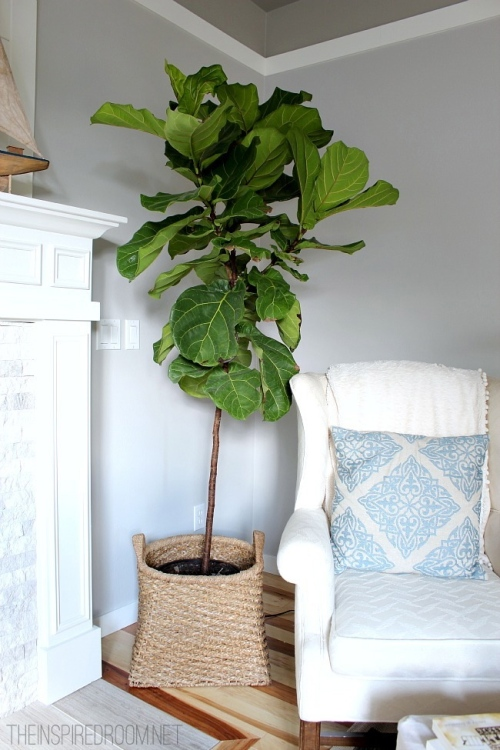 Fiddle-Leaf-Fig-Tree-Pruned1